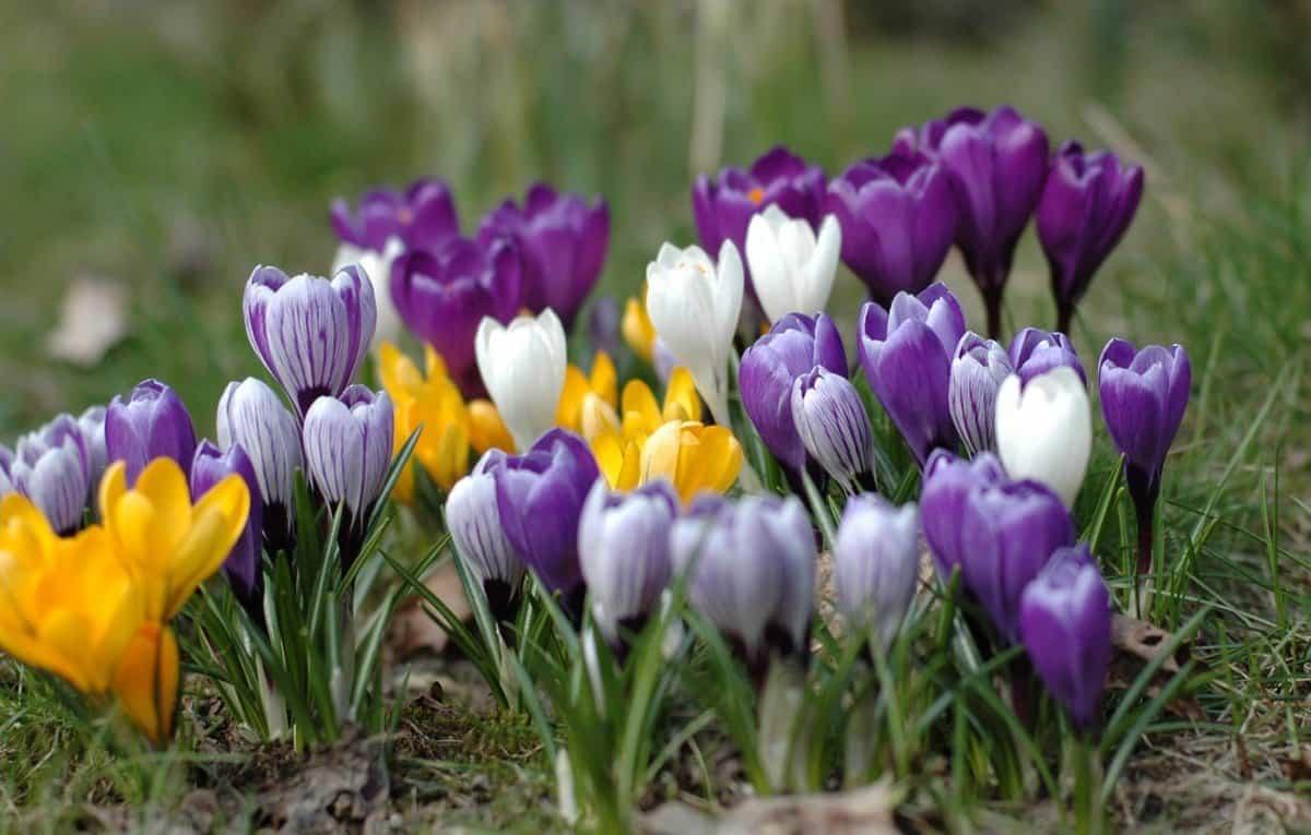 Первоцветы: крокус