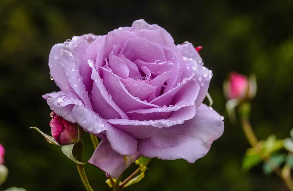 королева цветов - роза