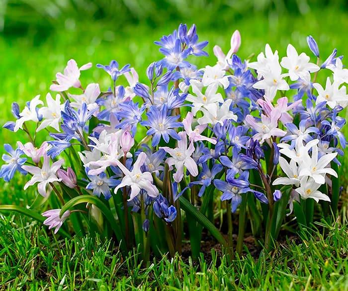 Первоцветы: хионодокса